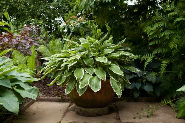 container-for-shade-planted-with-hosta-2