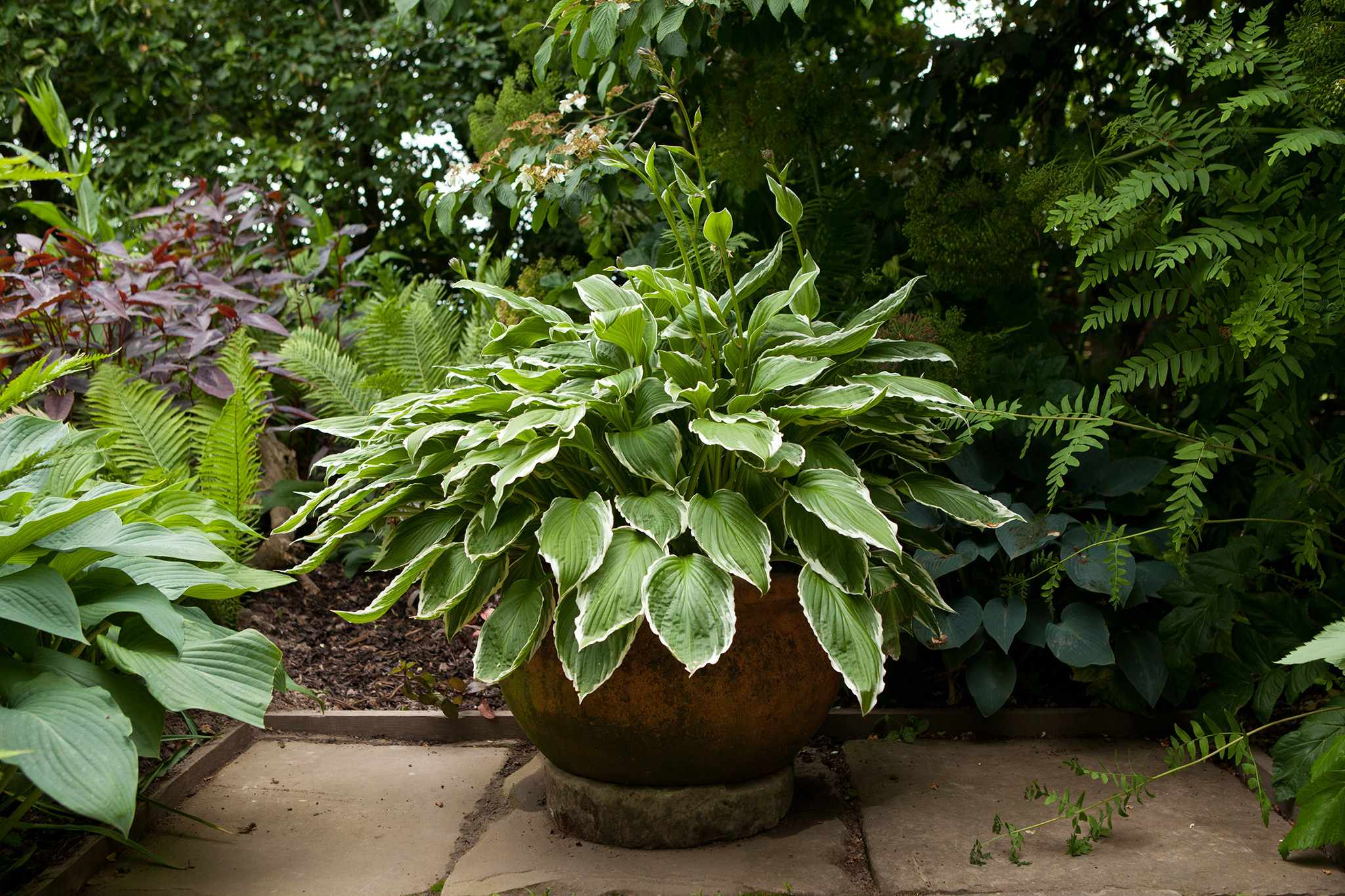 Container for shade planted with hosta