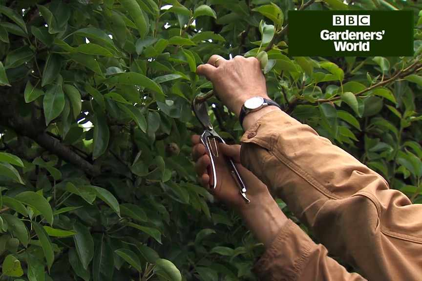 How to summer prune apple and pear trees video