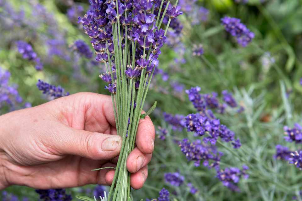 How to dry lavender