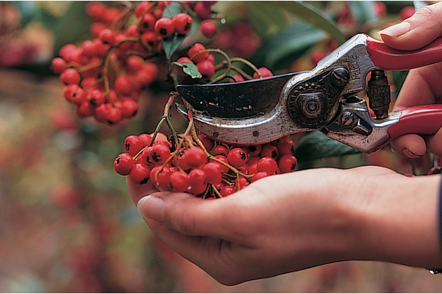Removing berries from a plant