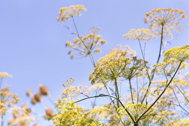 Tall yellow blooms of fennel