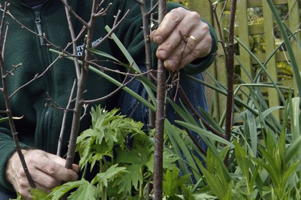 Using pea sticks to support plants