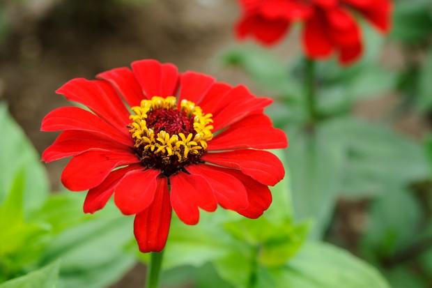 Bright red flowers of Zinnia elegans 'Scarlet Flame'