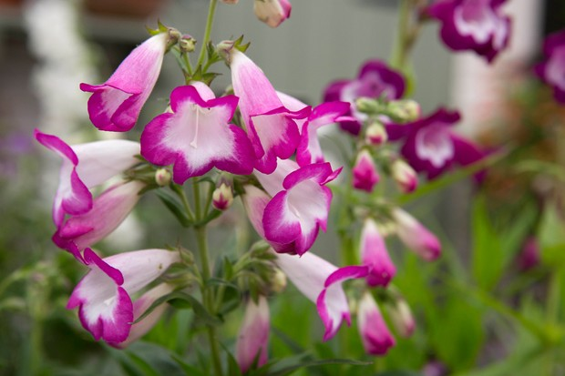Deep-pink fringed, white bell-shaped flowers of Penstemon 'Laura'
