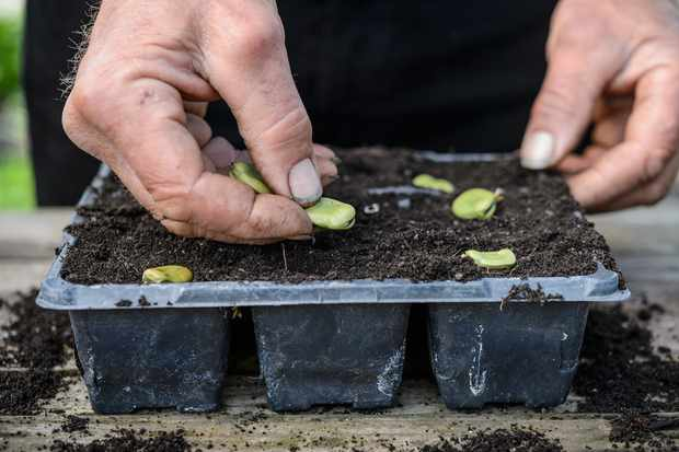 sowing-broad-beans-5