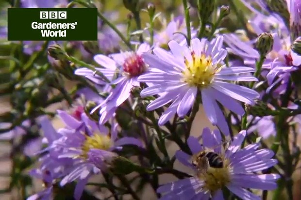 How to plant Michaelmas daisies