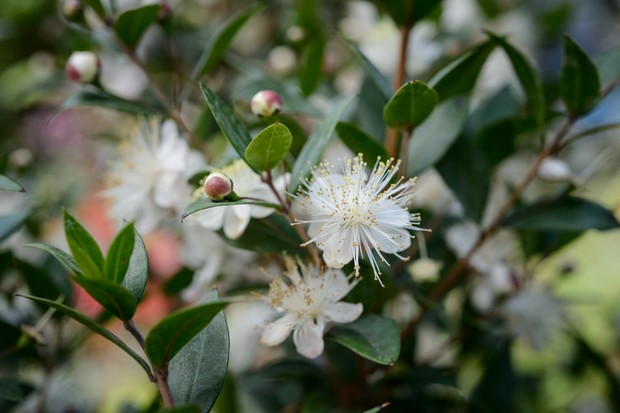 common-myrtle-flower-2