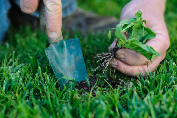 Removing a plantain weed from a lawn