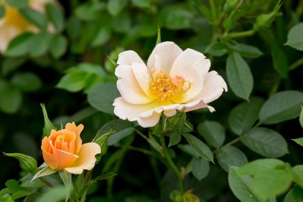 rosa-happy-days-2