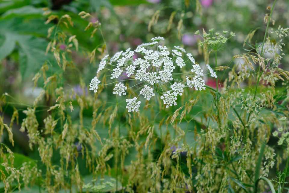 Large, white flowerhead of Bishop's flower