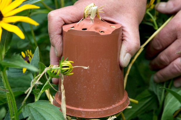 How to make earwig traps - placing the pot on the cane