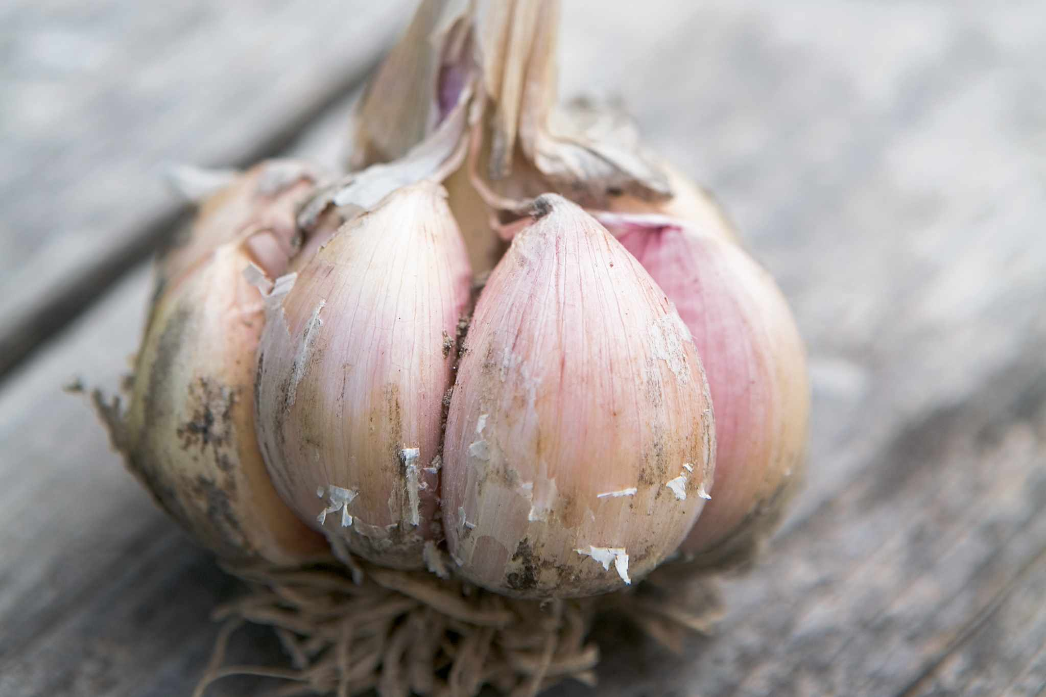 A bulb of garlic