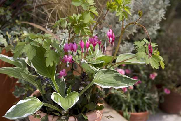 Bleeding heart and hosta pot