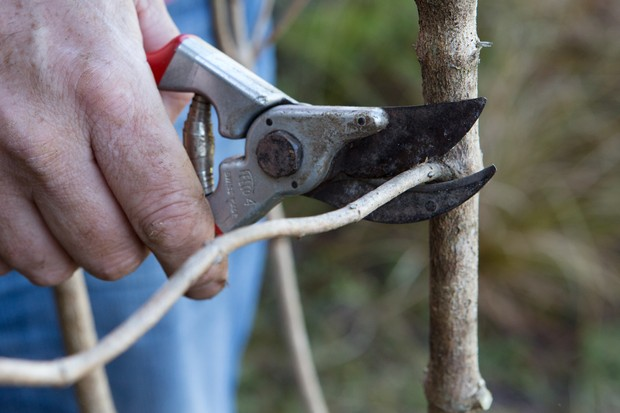 Pruning a deciduous shrub - removing stems in the wrong place