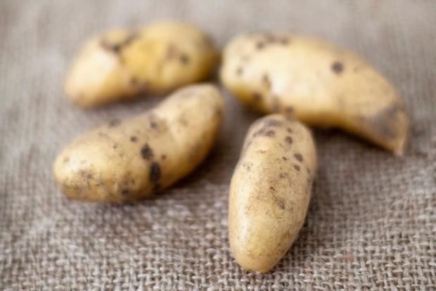 potato-ratte-5