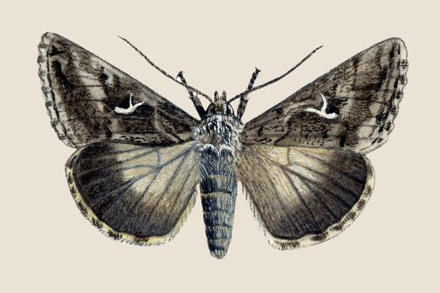 Silver-Y moth illustration