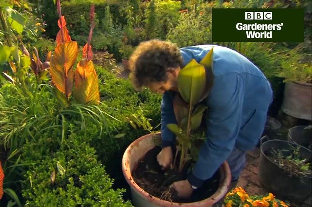 How to overwinter tender dahlias and cannas part one video