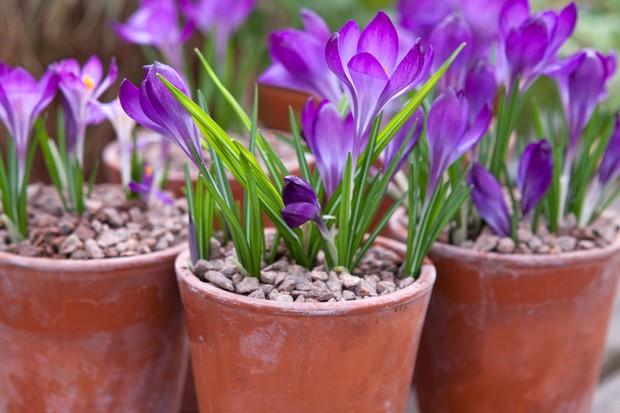 crocuses-in-flower-3