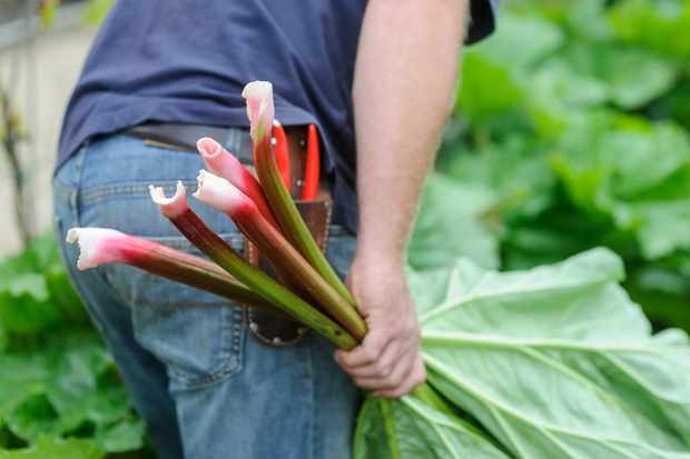 picking-rhubarb-4