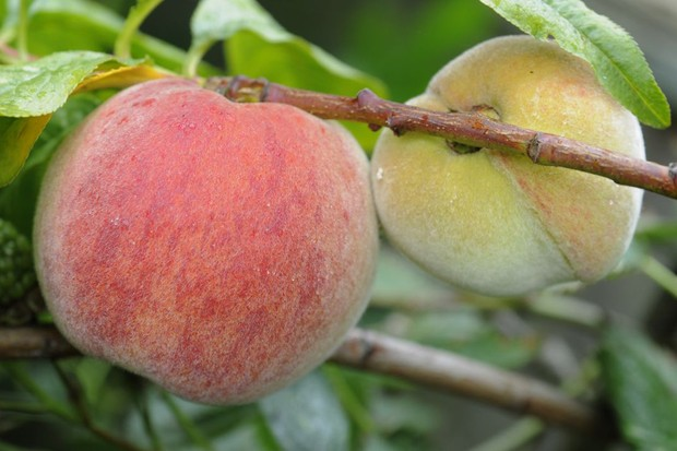 Peaches ripening on the tree