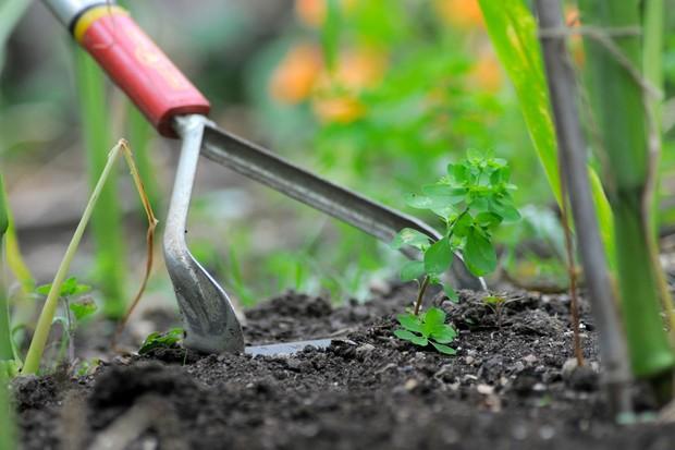 Hoeing out weed seedlings between plants