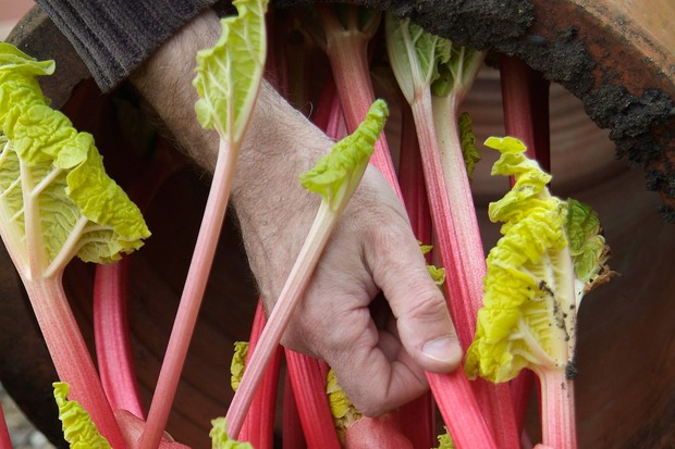 forced-rhubarb-stems-2