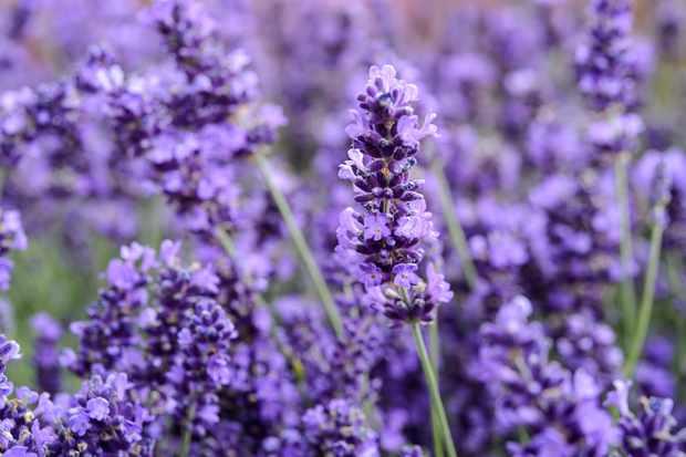lavender-16