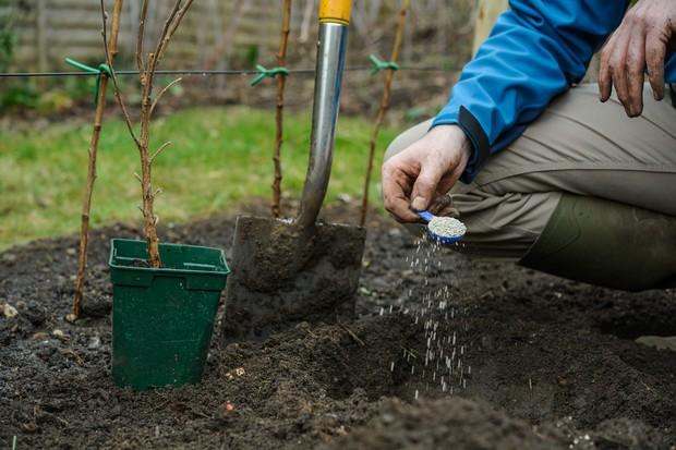 Preparing planting area with fertiliser for currants