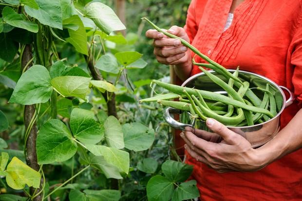 runner-beans-19