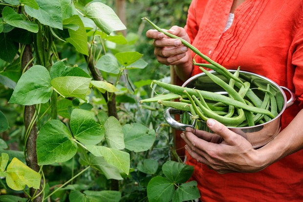 Harvesting runner beans