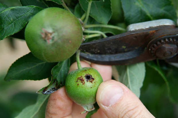 Pruning off an immature apple that has been tunnelled by a codling moth caterpillar