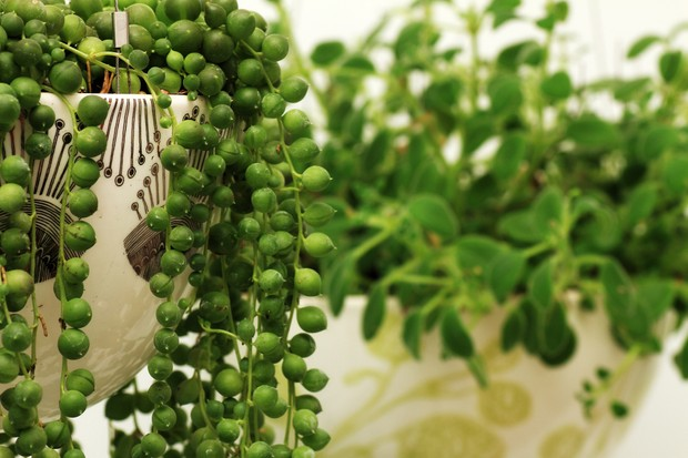 Best succulents to grow - string of beads plant