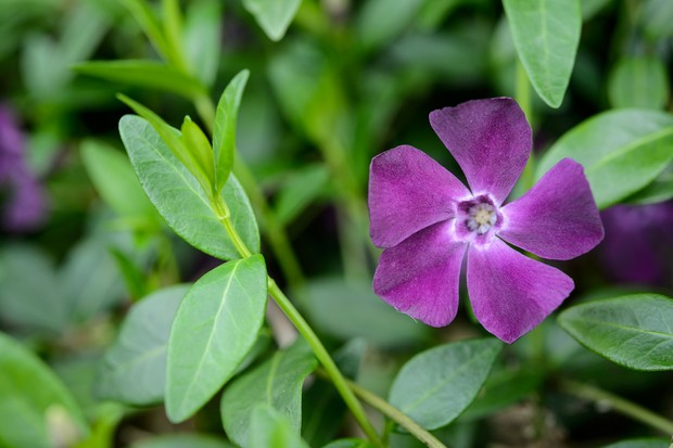 Glossy leaves and small purple flowers of the periwinkle