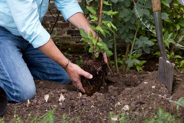 planting-a-clematis-8