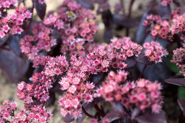 hylotelephium-flowers-2