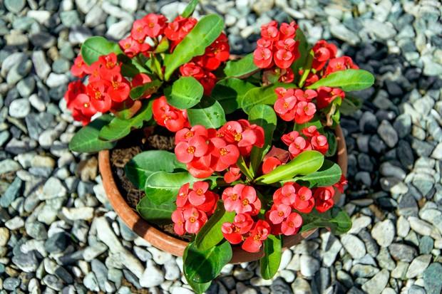 crown-of-thorns-euphorbia-milii-2
