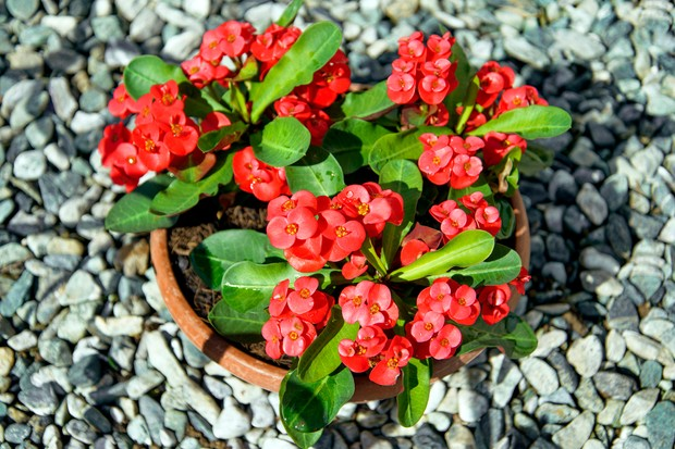 crown-of-thorns-euphorbia-milii-2