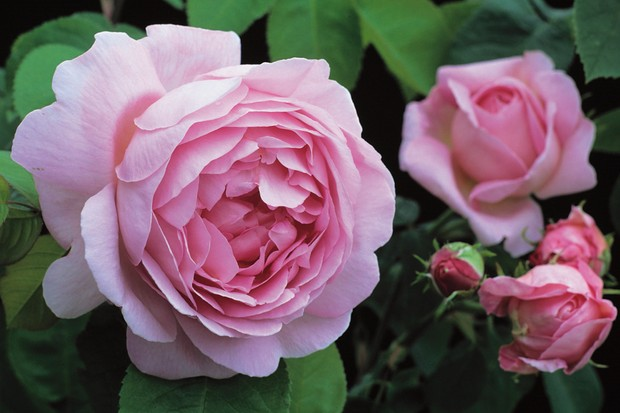 Pink blooms of climbing rose 'Constance Spry'