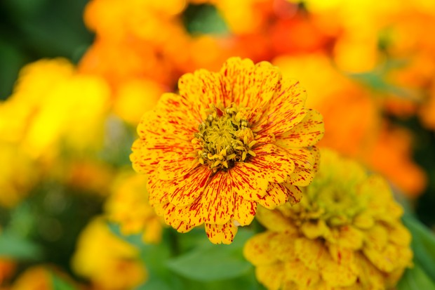 Red-flecked, golden flowers of zinnia 'Pop Art'