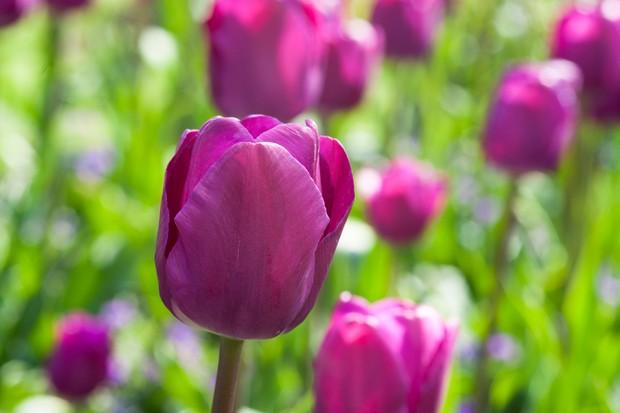 Deep pink-purple flowers of tulip 'Van der Neer'