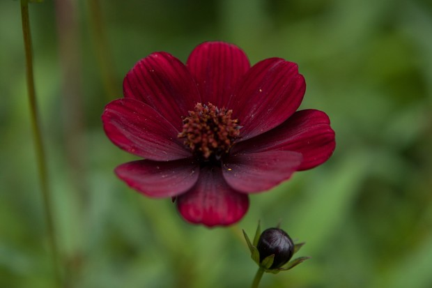 Red-brown chocolate cosmos bloom