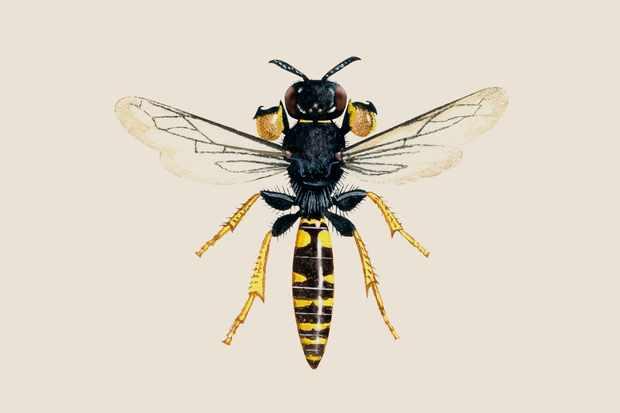 digger-wasp-crabro-cribrarius-2