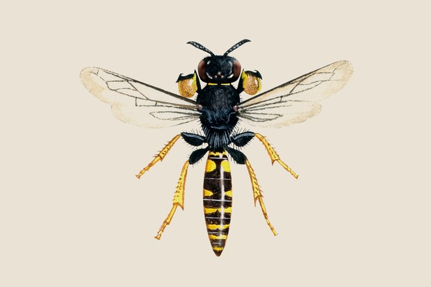 Illustration of a male digger wasp with broad, flat shields on its front legs