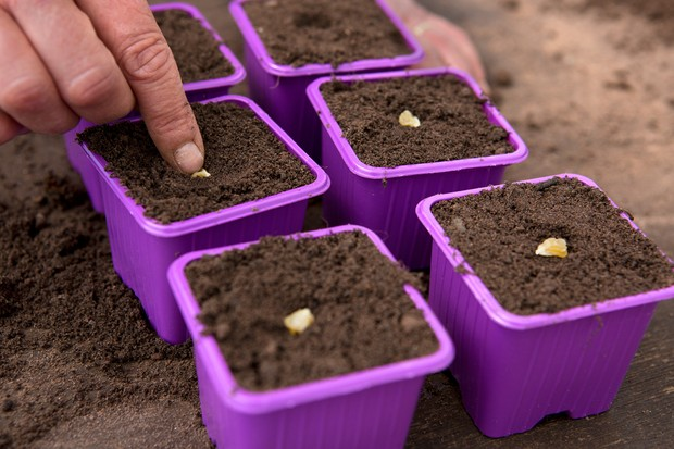Planting sweetcorn seeds in pots