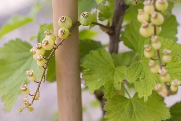 whitecurrant-white-versailles-2