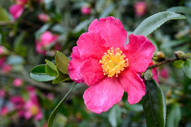 Bright-pink camelia 'Crimson King' bloom