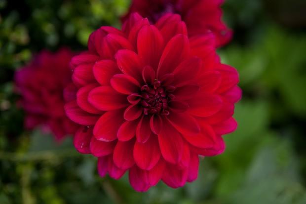 Crimson red, double Dahlia 'Arabian Night'