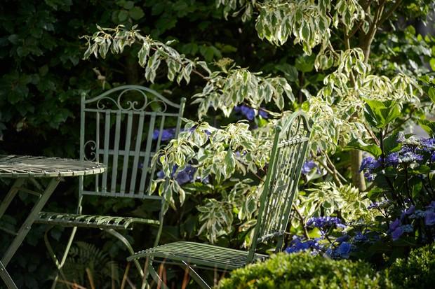 cornus-controversa-variegata-next-to-a-garden-table-3
