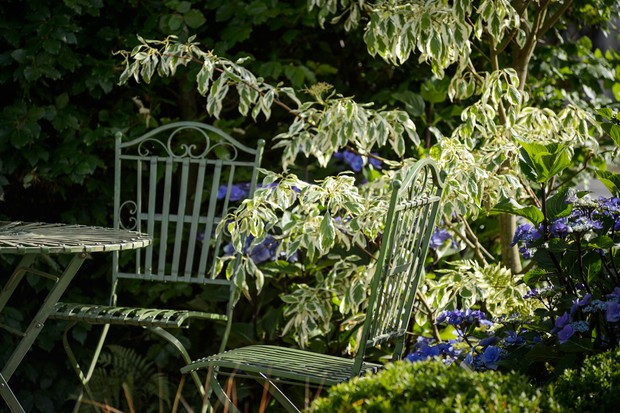 cornus-controversa-variegata-next-to-a-garden-table-3